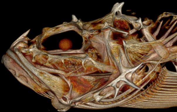 3D scan of Spinyhead Sculpin (Dasycottus setiger).  Source: Mark Riccio, Stacy Farina, and Willy Bemis/Open Science Framework (OSF)