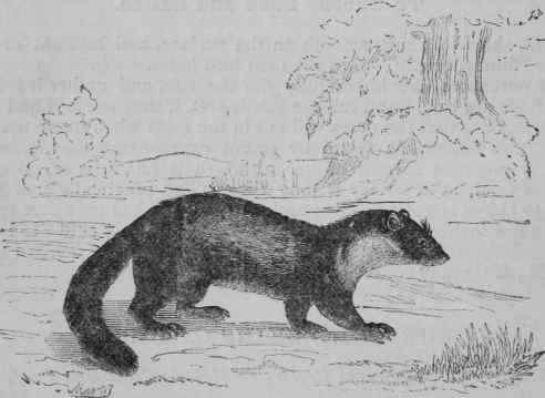 Beech marten, also known as a stone marten.  Source: Chest of Books/Ray