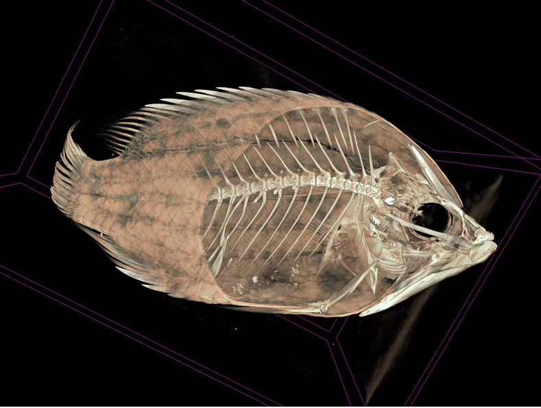 3D scan of Sligjaw Wrasse (Epibulus insidiator). Source: Adam P. Summers & Joshua Drew/OSF