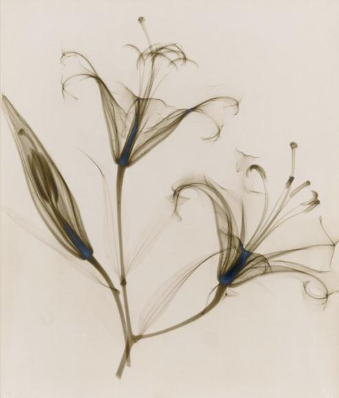 Untitled, (lily)  (1932), vintage gelatin silver print. Photo: Dr. Dain L. Tasker via oseph Bellows Gallery