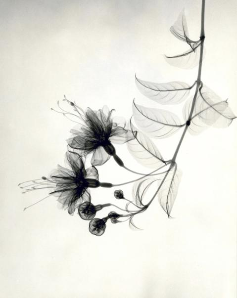 Fuchsia (1938), vintage gelatin silver print. Photo: Dr. Dain L. Tasker via oseph Bellows Gallery